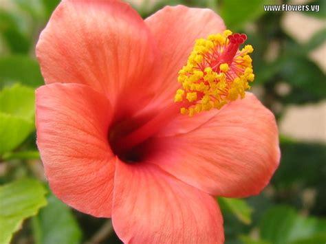 hibiscus flower flower homes hibiscus flowers