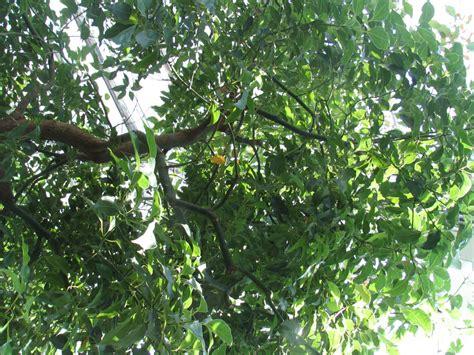 tree c cinnamomum chora