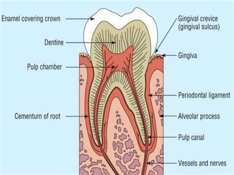 Floor Of Mouth Anatomy by Cementum
