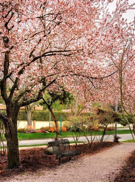 1000 imagens sobre flor de cerejeira no primavera flores de cerejeira e flores