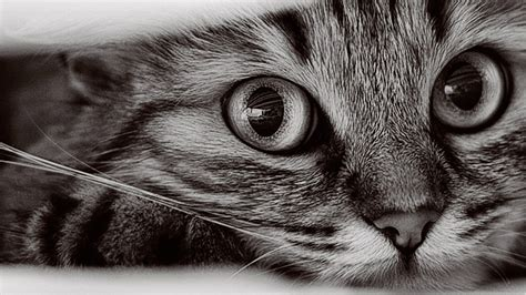 Cat Wallpaper by 1366x768 Cat Wallpapers 10543 Wallpaper Walldiskpaper