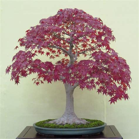 japanese maple bonsai growing tips small garden ideas