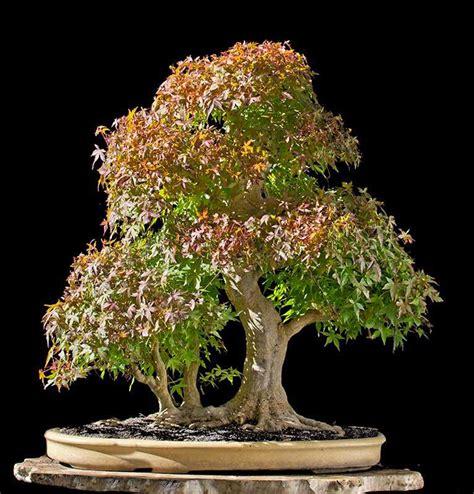 walter pall s 3 tree japanese maple bonsai adventure bonsai bark