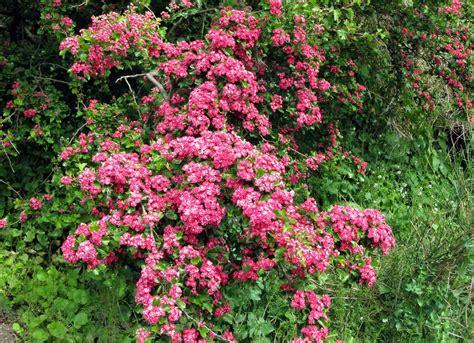 hawthorne tree hawthorn tree flowers images