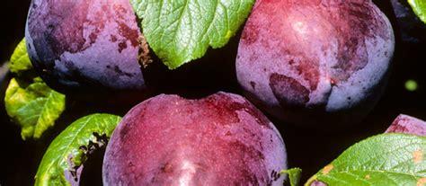 fruit and the summerfruit industry te ara encyclopedia of new zealand