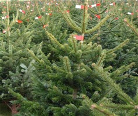 kosten weihnachtsbaum preise f 252 r weihnachtsb 228 ume wohl stabil proplanta de