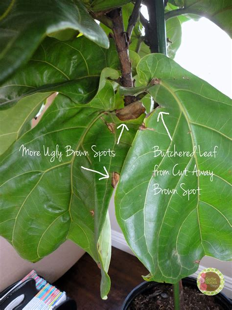 bunnings trees fiddle leaf fig tree bunnings bathroom plants bunnings
