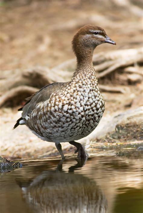 the australian woodworker australian wood duck