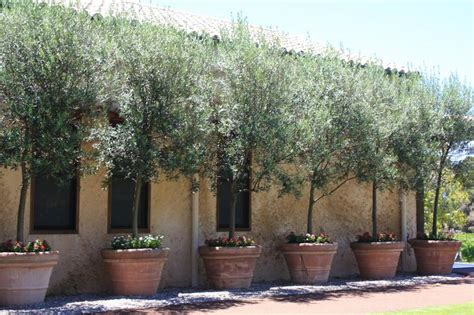 pot tree potted olive trees pots and planters