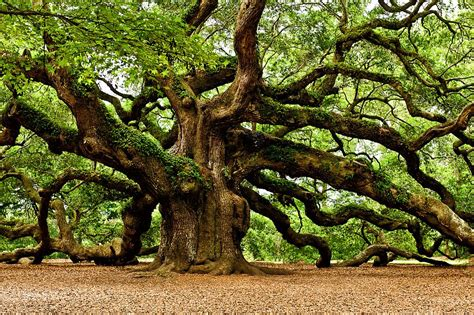 o tree in the oak tree in mythology symbolic meaning