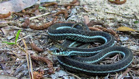 Garden Snake Florida Bluestriped Garter Snake Florida Flickr Photo