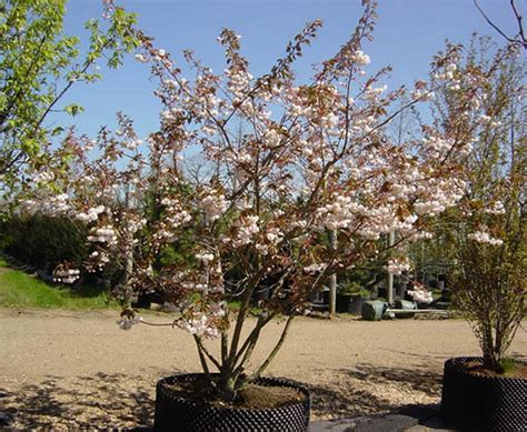 mt fuji cherry tree nz prunus shirotae mount fuji cherry