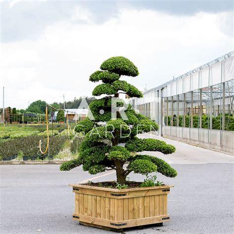 arbres nuages pas cher arbres nuage japonais bonsai geant jardins et