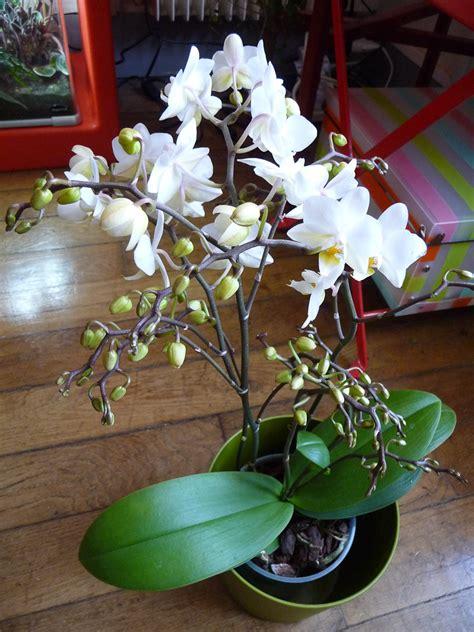 phalaenopsis 224 petites fleurs blanches plante d int 233 rieur 19e 75 29 mars 2013 photo
