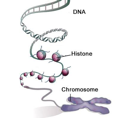 bead like proteins around which dna coils dna and chromosomes the a level biologist your hub