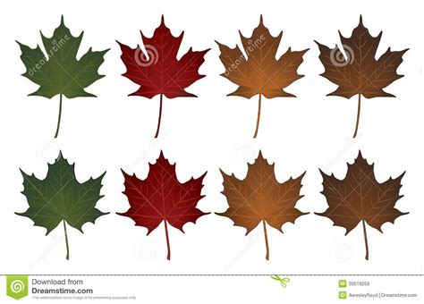 maple leaves sugar and stock vector illustration of leaves stem 30519259