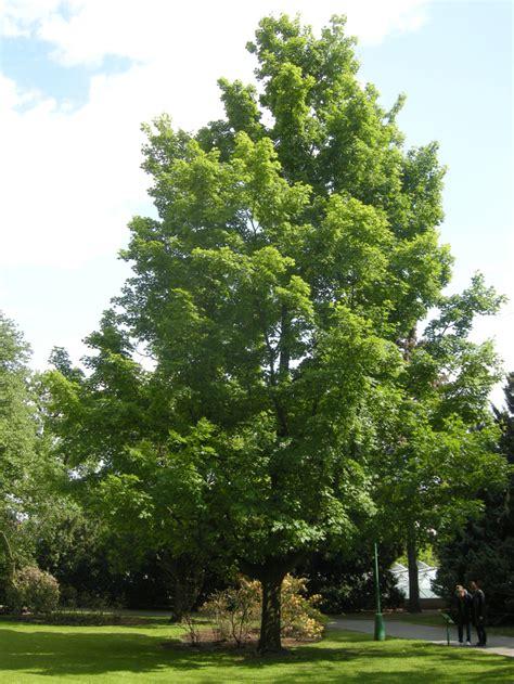 maple tree types maple gammon s garden center landscape nursery