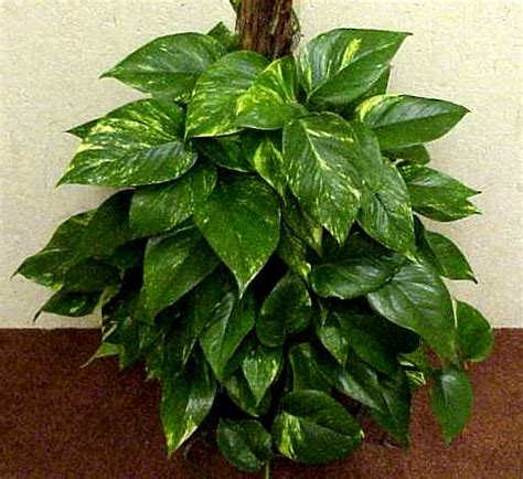 green acres pothos