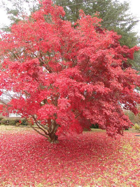 file acer palmatum japanese maple toccoa jpg wikimedia commons
