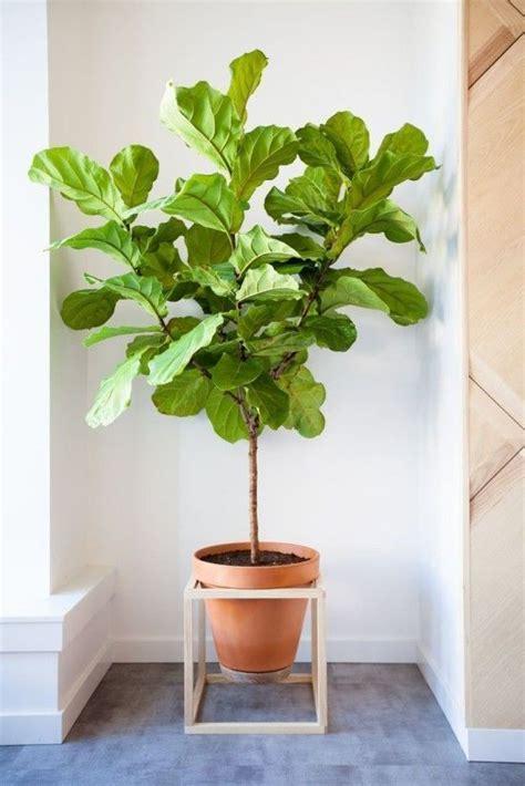 un figuier dans votre salon 192 la mode montr 233 al plante mode et pots