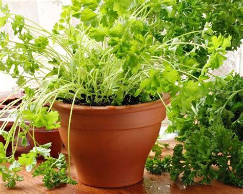 herb garden indoors 12 best herbs to grow indoors indoor herbs balcony