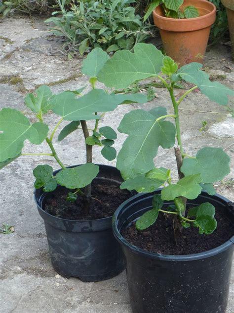 plant de figuier
