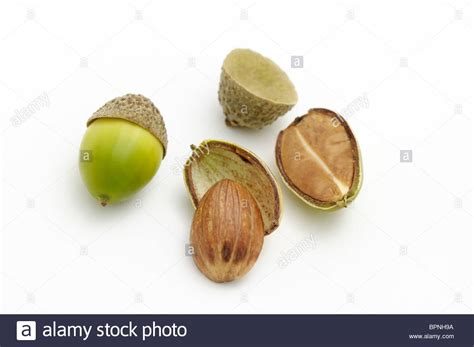 cut seed acorns from chestnut oak one of the acorns has been cut