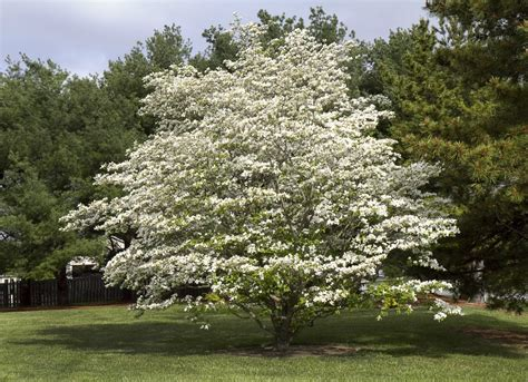 best tree images best trees to plant 10 options for the backyard bob vila