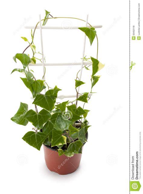 lierre dans un pot de fleurs photo stock image 50452118
