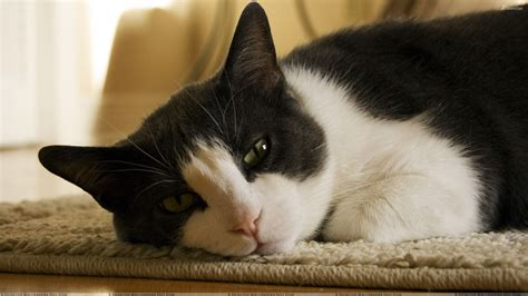 black and white cat black and white cat laying on mat lazy pose wallpaper