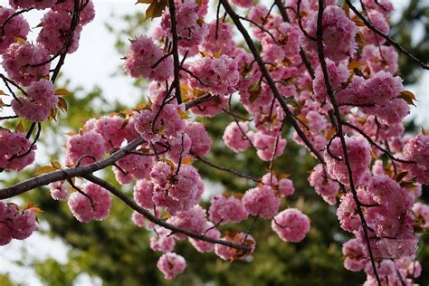 after trip to space cherry trees mysteriously blossom years ahead of schedule the verge