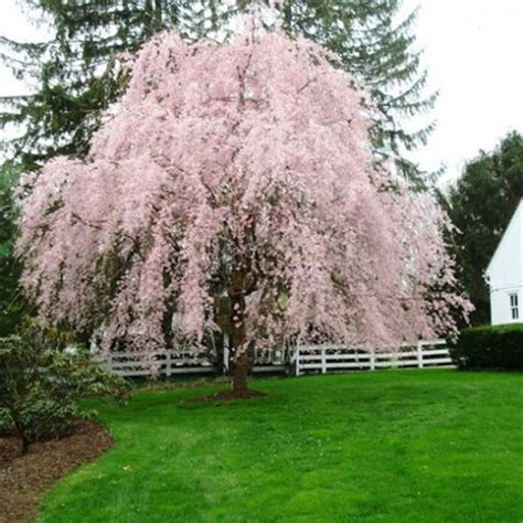 cherry tree weeping pink weeping cherry tree seeds garden yard tree flower seed 20pcs ebay