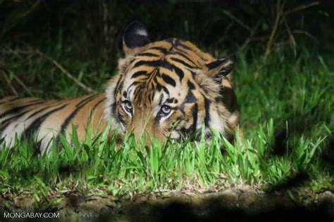 of tiger tigers unprecedented threat from transport projects