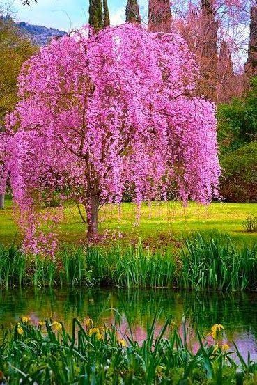 1000 ideas about weeping cherry tree on cherry tree blossoms and prunus