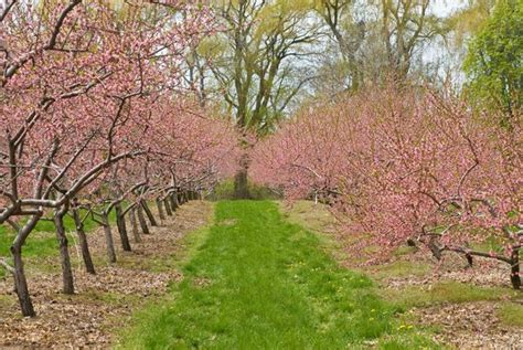 dallas fruit and vegetable grower growing cherry trees in dallas and