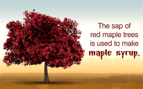 maple tree facts maple tree facts
