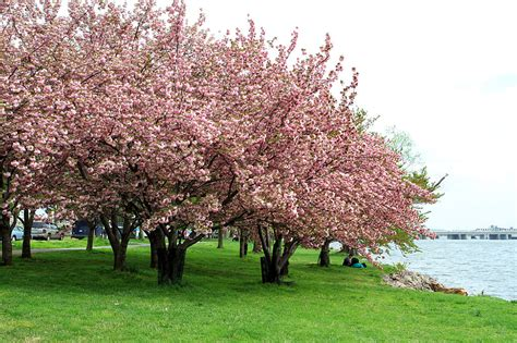 tree up dc the best places for cherry blossom festivals in the us
