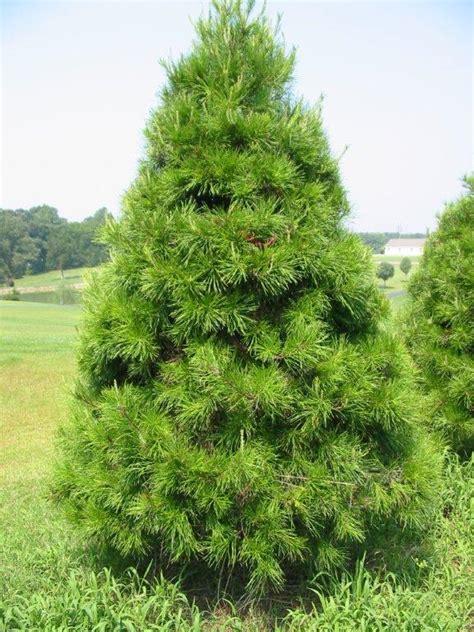 kiefer weihnachtsbaum pine tree myideasbedroom