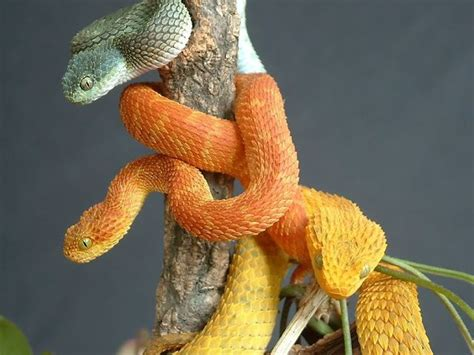 The Variable Bush Viper (Atheris squamigera), a species of ... Arboreal Snakes