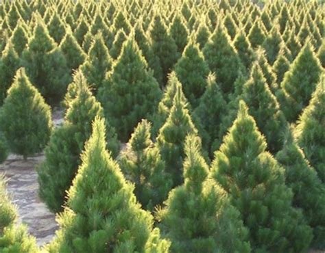 real trees perth where to buy a real tree in perth perth