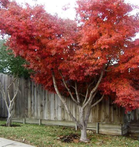 as 25 melhores ideias de japanese maple varieties no bongo acer e bonsai