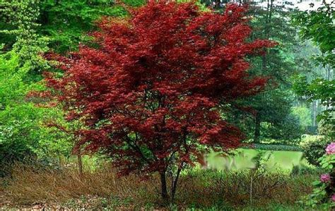 15 best images about landscape trees and shrubs on cherries prunus and shrubs