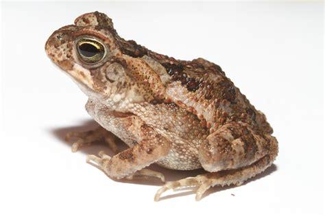 File:Juvenile cane toad, Barro Colorado Island.jpg ...