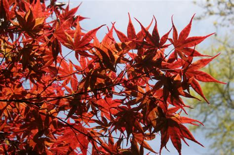 ottershaw trees april hta plant of the moment the magic of maples news