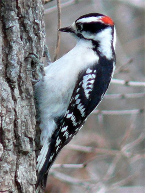 the woodpecker woodworking interesting facts about woodpeckers do you