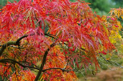 maple tree zone growing japanese maples in zone 7 how to care for zone 7 japanese maples