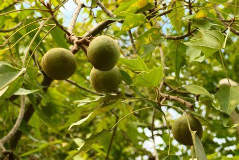 The Kukui Nut