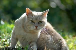 of a cat golden cat cats picture