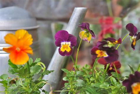 Garten Pflanzen Womit Düngen by Stiefm 252 Tterchen D 252 Ngen 187 Wie Viel Wann Und Womit