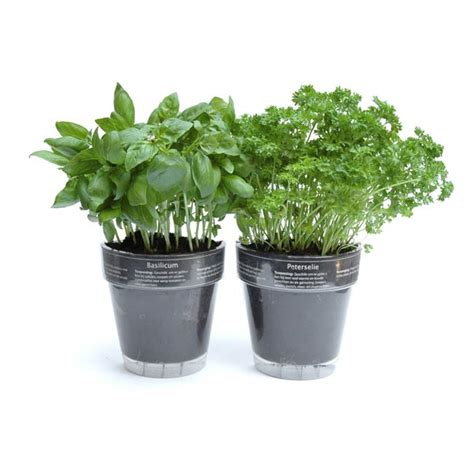 herb pot windowherbs transparent suction cup herb pots the